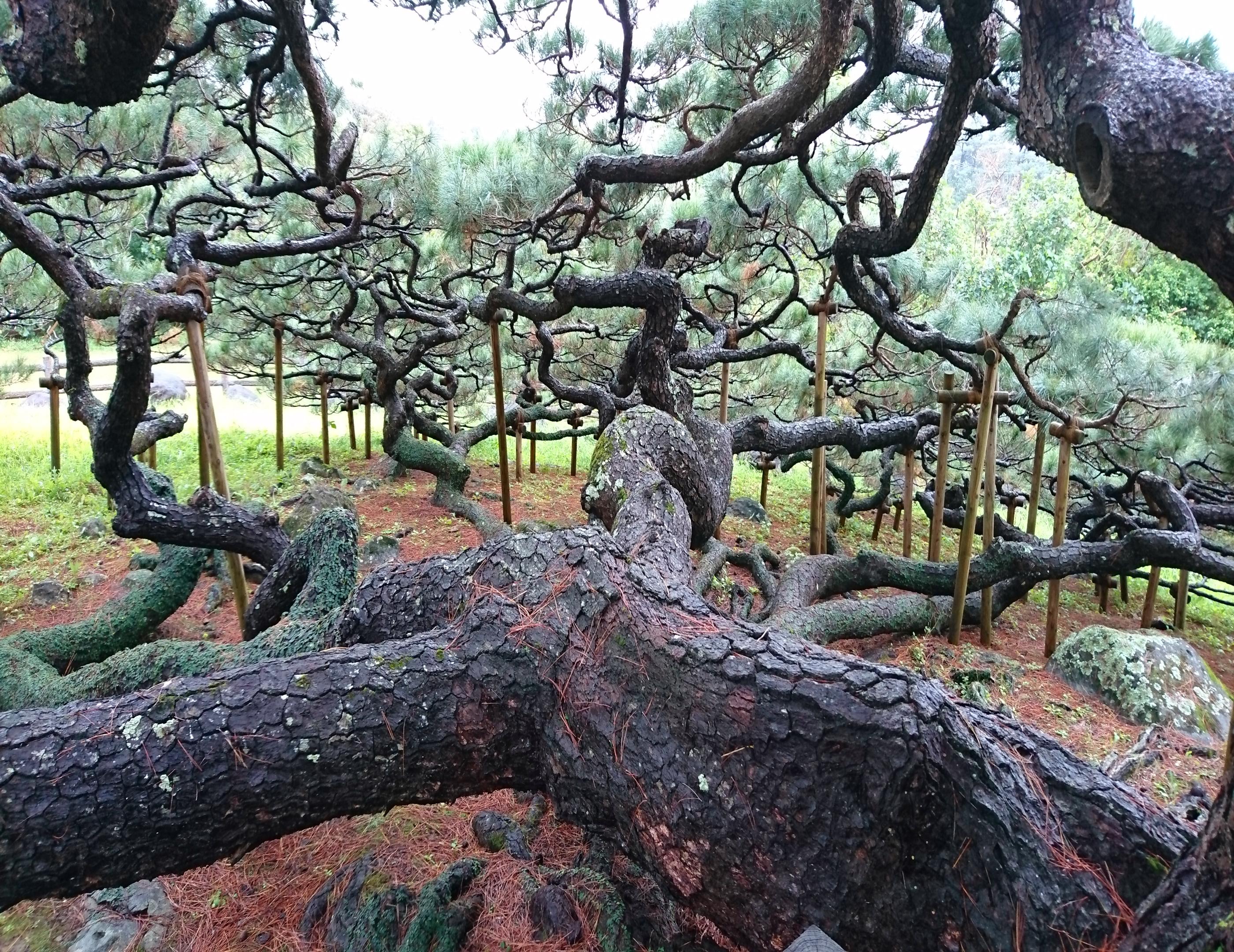 久米島五枝の松