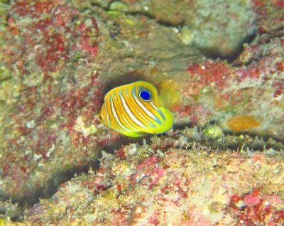 ニシキヤッコ(幼魚)