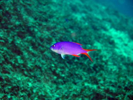 タテスジハタ(幼魚)