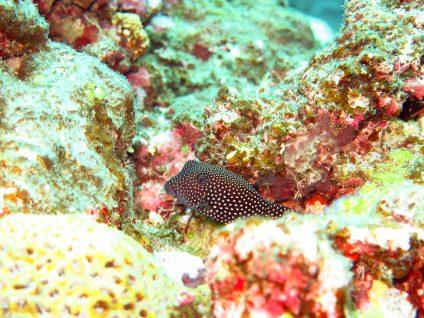 クロハコフグの幼魚