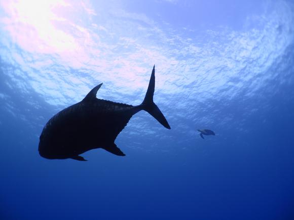 ロウニンアジ&アオウミガメ