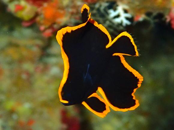 アカククリ(幼魚)