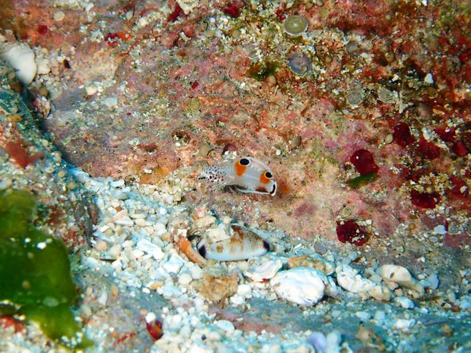 カンムリベラ(幼魚)