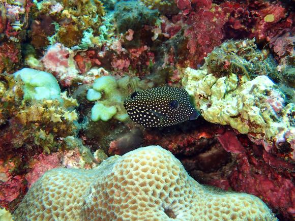 クロハコフグ(幼魚)