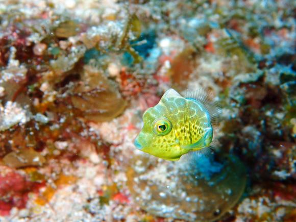ノコギリハギ(幼魚)