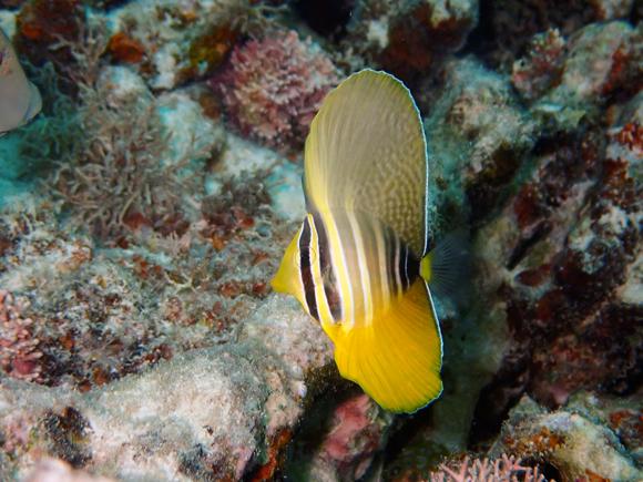 ヒレナガハギ(幼魚)